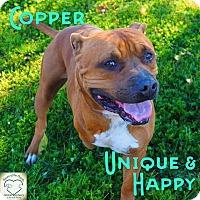 Pit Bull Terrier Mix Dog for adoption in Washburn, Missouri - Copper