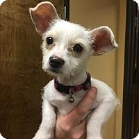 Adopt A Pet :: Shelby (LC) - Santa Ana, CA