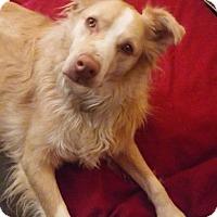 Adopt A Pet :: Brody-pending adoption - Manchester, CT