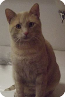 Domestic Shorthair Cat for adoption in Colorado Springs, Colorado - Jordan
