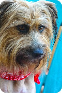 Terrier (Unknown Type, Medium)/Silky Terrier Mix Dog for adoption in san diego, California - LIzzy