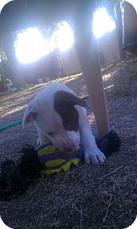 American Bulldog/American Pit Bull Terrier Mix Puppy for adoption in scottsdale, Arizona - Sherman