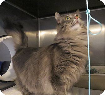 Domestic Longhair Cat for adoption in Geneseo, Illinois - Hennepin