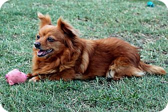 Pomeranian/Dachshund Mix Dog for adoption in Lodi, California - Rose