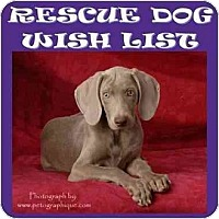 Weimaraner Puppy for adoption in Las Vegas, Nevada - LVWCR WISHLIST