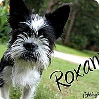 Adopt A Pet :: Roxanne - Atlanta, GA