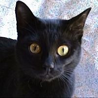 Domestic Shorthair Cat for adoption in Tyler, Texas - A-Sophia