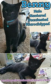 Domestic Shorthair Cat for adoption in Madera, California - Benny