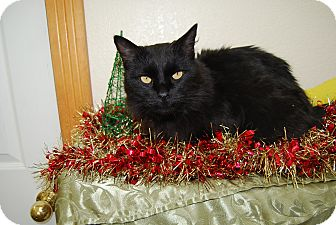 Domestic Longhair Cat for adoption in Ridgway, Colorado - Dash