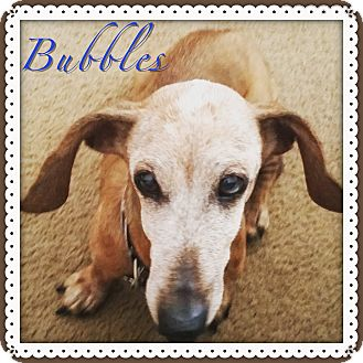 Dachshund Dog for adoption in Green Cove Springs, Florida - Bubbles