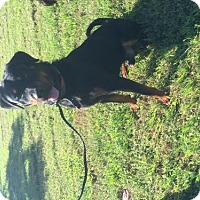 Rottweiler Dog for adoption in Oviedo, Florida - Pharell