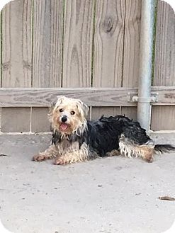 Silky Terrier/Poodle (Miniature) Mix Dog for adoption in Baton Rouge, Louisiana - Ellie Mae