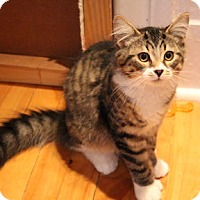 Domestic Shorthair Kitten for adoption in Verdun, Quebec - Snickers