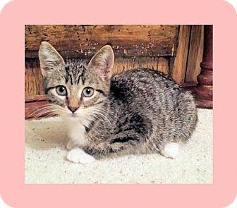Domestic Shorthair Kitten for adoption in Euless, Texas - Kitten - Courtney