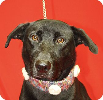 Labrador Retriever Mix Dog for adoption in Jackson, Michigan - Kingston