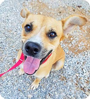 Labrador Retriever/Shepherd (Unknown Type) Mix Dog for adoption in Kingston, Tennessee - Ellie