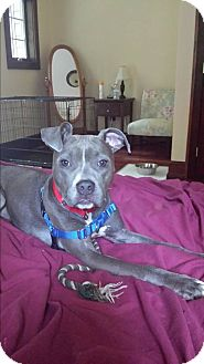 Pit Bull Terrier Mix Dog for adoption in New York, New York - Ellie Mae