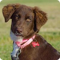 Adopt A Pet :: Topaz - Enfield, CT