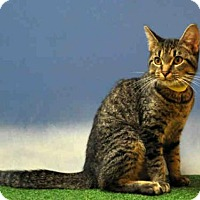 Domestic Mediumhair Cat for adoption in Naples, Florida - ARCHIE