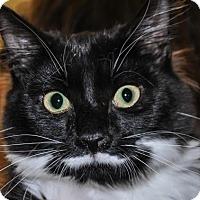 Adopt A Pet :: Bennet (bonded with Bingley) - Alexandria, VA