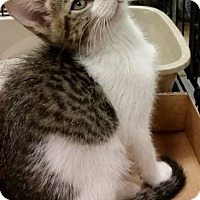 Adopt A Pet :: Dill - Hallandale, FL