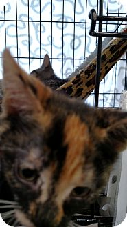Domestic Shorthair Kitten for adoption in Yuba City, California - Bashful