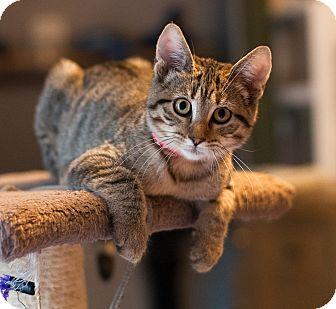 Domestic Shorthair Cat for adoption in Faribault, Minnesota - mink