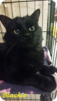 Domestic Longhair Cat for adoption in Chisholm, Minnesota - Blackie
