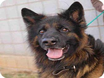 Belgian Tervuren Dog for adoption in Waynesville, North Carolina - SAMSON