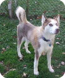 Siberian Husky Dog for adoption in Wilmington, Massachusetts - Connor