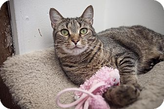Domestic Shorthair Cat for adoption in Chesapeake, Virginia - Nigel