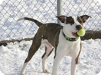 American Pit Bull Terrier Mix Dog for adoption in Meridian, Idaho - Mason