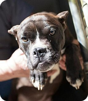 Boxer/Boston Terrier Mix Dog for adoption in Bardonia, New York - Cara