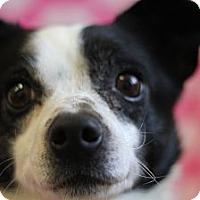Adopt A Pet :: Blitzen - Roosevelt, UT