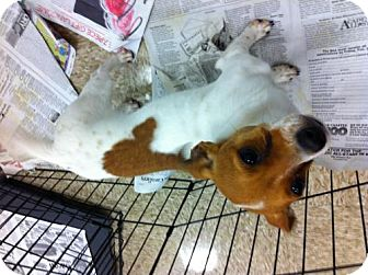 Toy Fox Terrier/Jack Russell Terrier Mix Dog for adoption in Fresno, California - Rod