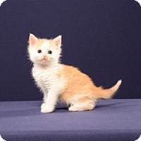 Adopt A Pet :: Didier (Kitten) - Cary, NC