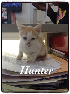 Domestic Shorthair Kitten for adoption in Dillon, South Carolina - Hunter