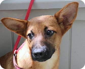 German Shepherd Dog/Labrador Retriever Mix Puppy for adoption in Yardley, Pennsylvania - Liz  A Wonderful Girl!!