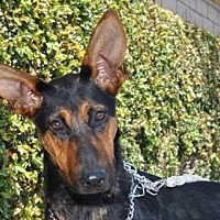 Adopt A Pet :: Cersai - Newport Beach, CA