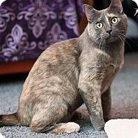 Domestic Shorthair Cat for adoption in San Diego, California - Eudora (sweet & gentle)