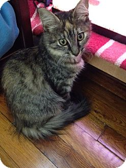Domestic Shorthair Kitten for adoption in Valhalla, New York - ETHYL & RIBBONS KITTENS