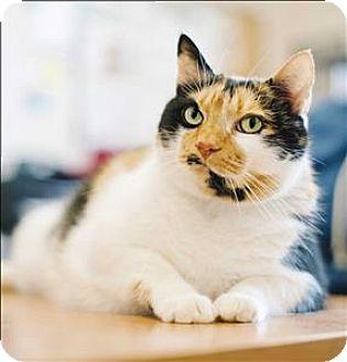 Domestic Shorthair Cat for adoption in Santa Rosa, California - Gigi