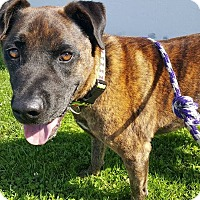 Adopt A Pet :: ***Arizona Joe*** - Woodland Hills, CA