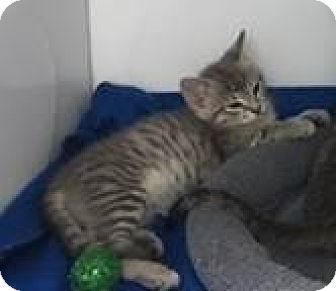 Domestic Shorthair Kitten for adoption in Fairfax, Virginia - Astrid