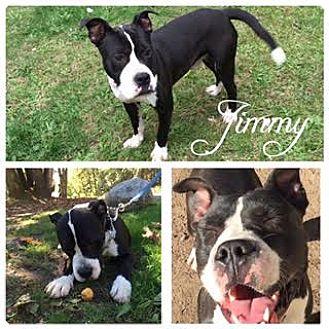 Boxer/American Bulldog Mix Dog for adoption in Hope, British Columbia - Jimmy