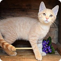 Domestic Shorthair Cat for adoption in Germantown, Maryland - Blaine