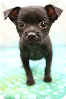 Miniature Pinscher Mix Puppy for adoption in Staunton, Virginia - Gypsy