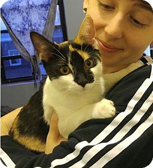 Domestic Shorthair Cat for adoption in New York, New York - Olga