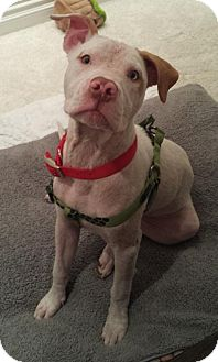 American Staffordshire Terrier Mix Dog for adoption in San Diego, California - BamBam