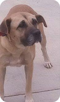 Boxer/Labrador Retriever Mix Dog for adoption in Jacksonville, Texas - Andrea